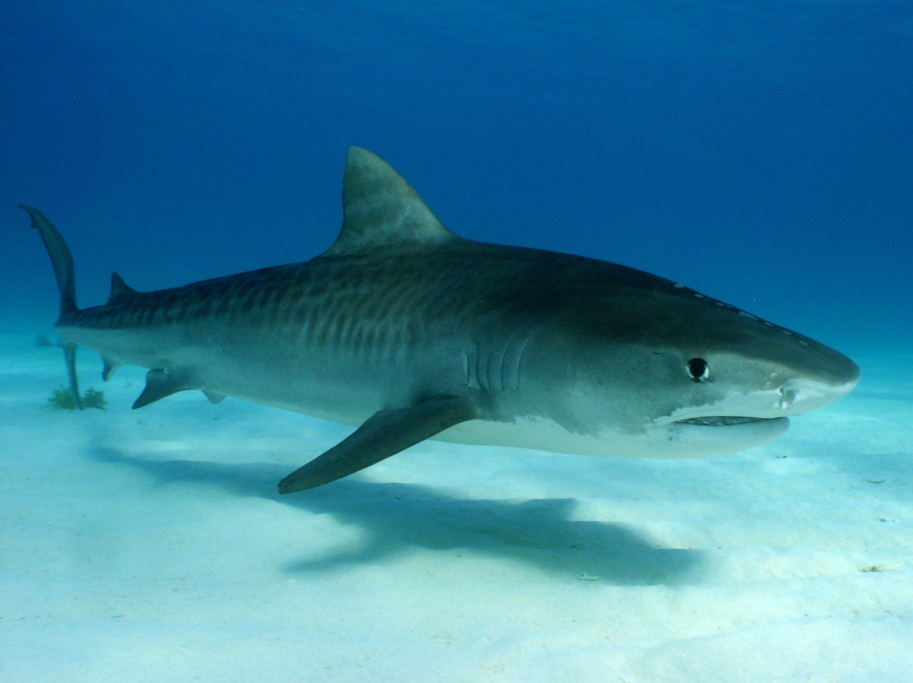 Lujoso Páginas Para Colorear De Tiburones Tigre Ideas - Dibujos Para ...
