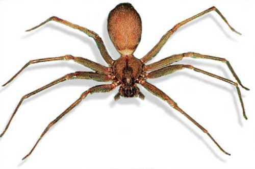 Brown recluse spider bite pictures, stages, treatment
