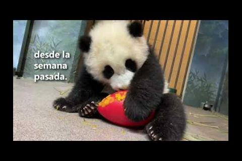 Embedded thumbnail for Bebé panda se deleita con nutritivo regalo de Año Nuevo