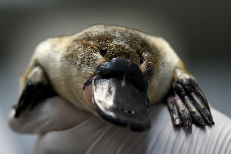 Annie, una ornitorrinco de 25 años, durante un chequeo de su salud en el Parque Zoológico Taronga, este miércoles en Sidney.
