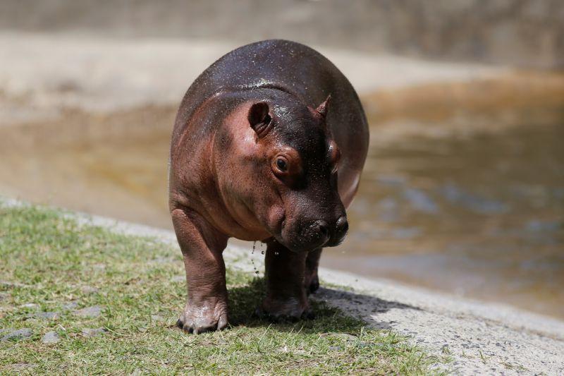 Hipopótamo macho en peligro de extinción, gran atractivo en occidente de México.