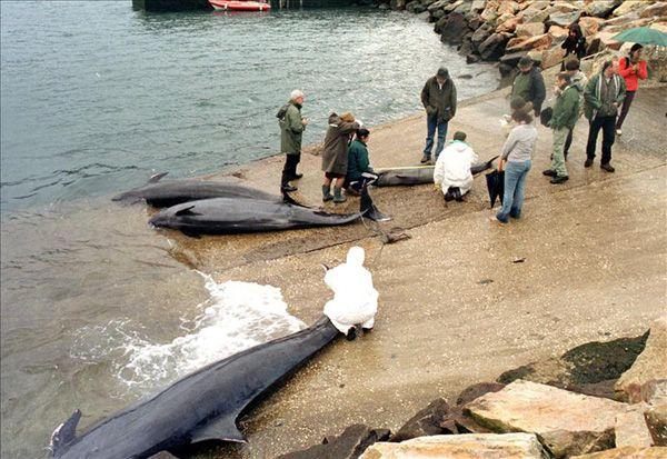 Varadas En Nueva Zelanda Unas 200 Ballenas Ms De 50 Muertas