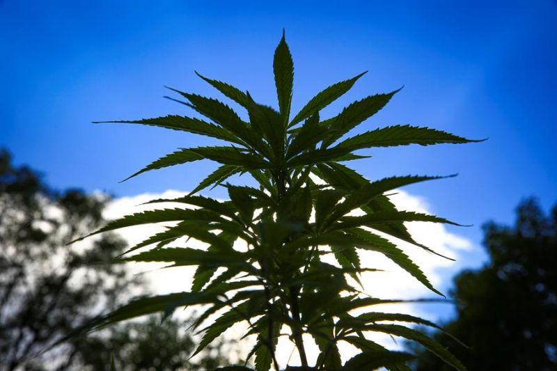 Vista de plantas de marihuana el 4 de abril de 2021 frente a la sede del Senado de la República en Ciudad de México (México).