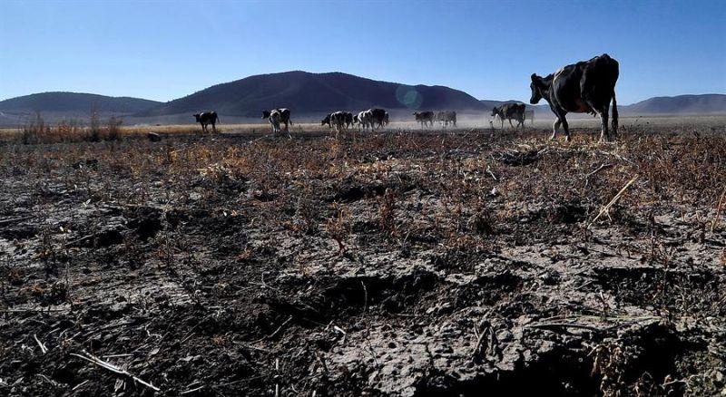Fotografía de archivo fechada el 20 de mayo de 2018 donde se observa algunas reses en temporada de sequía, en la comunidad ejidal de Matamoros, perteneciente al municipio de Galeana, en Nuevo León (México).